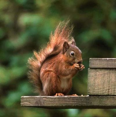 Red Squirrel - on feeder
