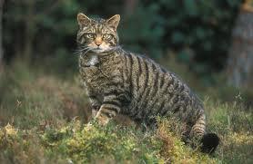scottish-wildcat
